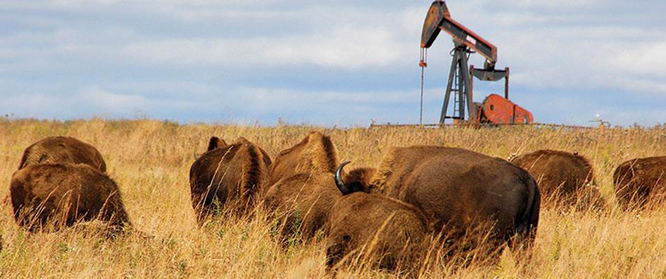 Buffalo Roam as Oil Pumps